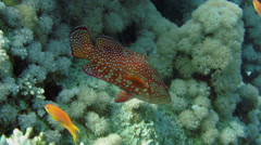 Coral hind peacock grouper (cephalopholis argus) Stock Footage