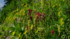 Wildflowers in Paradise Valley, Mount Rainier National Park Stock Footage
