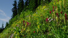Stock Video Footage of Wildflowers in Paradise Valley, Mount Rainier National Park