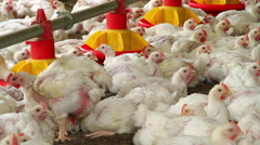 Chickens Production in farm Stock Footage