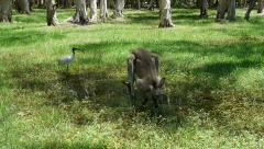 Kangaroo Cooling Off Stock Footage