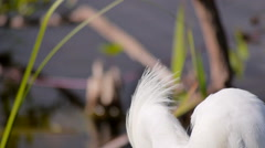 Snowy Egret ECU of Near-fatal Headdress Stock Footage