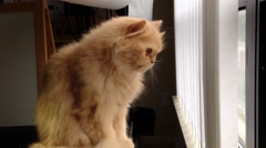 Persian cat watching outside view Stock Footage