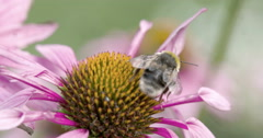 A bee on the top of the coneflower Stock Footage