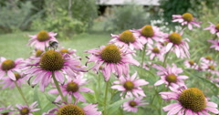 A bee transferring on every coneflower Stock Footage