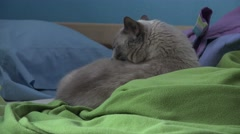 Cute Cat Cleaing Itself On Bed Blankets And Pillows 4K Stock Footage