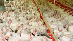 Chickens Production, SC Brazil. Stock Footage