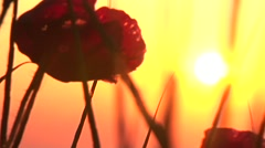 Red poppy agains the sun Stock Footage