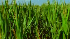 Flight over the corn field - the final crop - aerial view 015 Stock Footage
