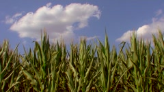 Flight over the corn field - the final crop - aerial view 018 Stock Footage