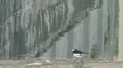 White wagtail waling and looking for food in the riverside Stock Footage