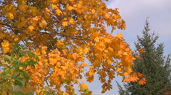Close Up Shot of maple leafs at Gorodetske village in Zhytomyr province, Ukraine Stock Footage
