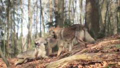 Czechoslovakian Wolfdogs playing together - stock footage
