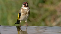 Goldfinch Drinking Water Stock Footage