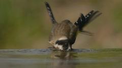 Goldfinch Birth Bath Stock Footage
