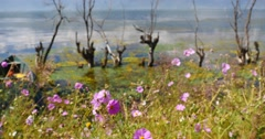 4k pink cosmos bipinnatus,withered in water,mountain & cloud reflect on lake. Stock Footage