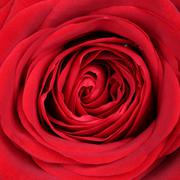 closeup blossom red rose on valentine's and mothers day or birthday - stock photo