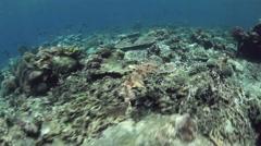 Wobbegong Swimming Stock Footage