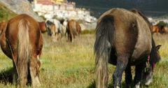 4k horse graze in the river,clouds mass rolling over mountains,far away temple. Stock Footage