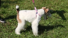Miniature Schnauzer On A Leash Standing On The Grass Barking Close Up Stock Footage
