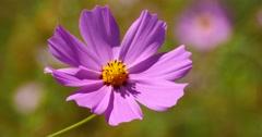 4k closeup cosmos bipinnatus(Garden Cosmos) in wind. Stock Footage