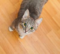 domestic short-haired young whiskered cat stand and looking - stock photo