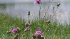 Wide Shot of Thistle near lake at Gorodetske in Zhytomyr province, Ukraine Stock Footage
