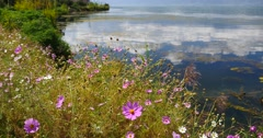 4k cosmos bipinnatus(Garden Cosmos) in wind,cloud reflect on water surface. Stock Footage