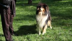 Rough Collie Standing And Jumping In The Park  With The Owner Stock Footage