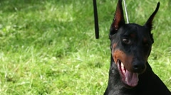 Black Doberman Standing On The Grass Close Up Stock Footage