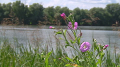 Mid Shot of wildflowers near lake at Gorodetske in Zhytomyr province, Ukraine Stock Footage