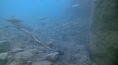Underwater life of freshwater fish and eels Stock Footage