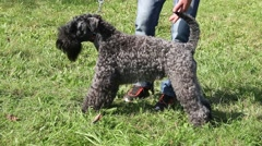 Beautiful Kerry Blue Terrier Posing And Standing On The Grass Stock Footage