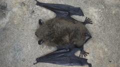 Bat closeup Stock Footage