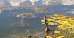 4k withered in water,mountain & cloud reflect on lake,erhai Dali,china. Stock Footage