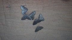 Butterflies wintering in the cave (Geometridae) Arkistovideo