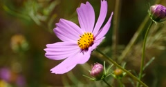4k closeup cosmos bipinnatus(Garden Cosmos) in wind. Stock Footage