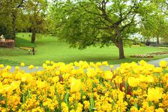 Yellow tulips in the park Stock Photos