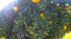 Ripe delicious tangerine garden walk Stock Footage