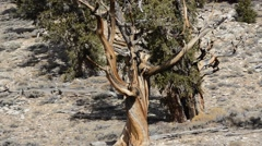 Ancient Bristlecone Pine Forest Stock Footage
