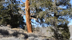 Ancient Bristlecone Pine Forest - stock footage