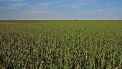 Corn field aerial shot flying extremely low and fast Stock Footage