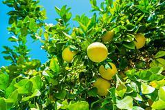Lemon tree branch with fruits closeup photo. Stock Photos