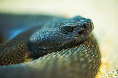 Crotalus ruber. red diamond rattlesnake extreme snake head closeup photo. Stock Photos
