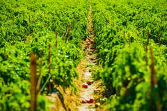 Red paprika field. california agriculture. Stock Photos