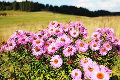 wild flowers meadow. pinky wild flowers on the large meadow. - stock photo