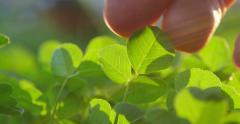 Hand touching fresh clover leaves growing in garden. Macro closeup. 4K UHD. - stock footage