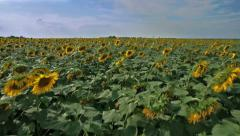 Sunflower field aerial shot flying extremely low and fast 1 - stock footage