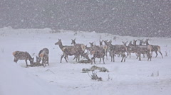 uhd whitetail deer (odocoileus virginianus) on winter snow blizzard, 4k stock - stock footage
