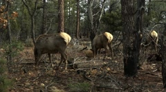 Wapiti - North American Elk Foraging for food in the forest - stock footage